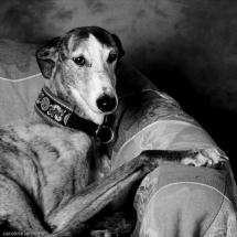 photographie-chien-levrier-