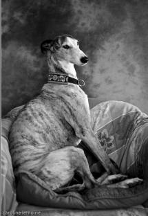 photographie-chien-levrier-galgos